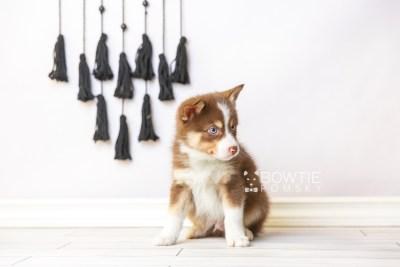 puppy118 week7 BowTiePomsky.com Bowtie Pomsky Puppy For Sale Husky Pomeranian Mini Dog Spokane WA Breeder Blue Eyes Pomskies Celebrity Puppy web4
