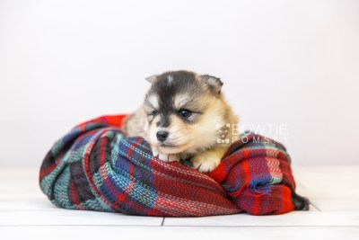 puppy119 week3 BowTiePomsky.com Bowtie Pomsky Puppy For Sale Husky Pomeranian Mini Dog Spokane WA Breeder Blue Eyes Pomskies Celebrity Puppy web-size web1
