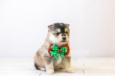 puppy119 week3 BowTiePomsky.com Bowtie Pomsky Puppy For Sale Husky Pomeranian Mini Dog Spokane WA Breeder Blue Eyes Pomskies Celebrity Puppy web-size web4