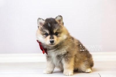 puppy119 week5 BowTiePomsky.com Bowtie Pomsky Puppy For Sale Husky Pomeranian Mini Dog Spokane WA Breeder Blue Eyes Pomskies Celebrity Puppy web4