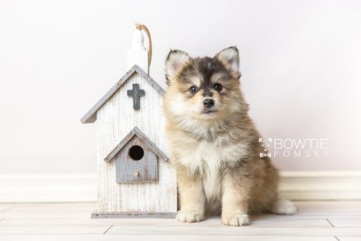 puppy119 week7 BowTiePomsky.com Bowtie Pomsky Puppy For Sale Husky Pomeranian Mini Dog Spokane WA Breeder Blue Eyes Pomskies Celebrity Puppy web1