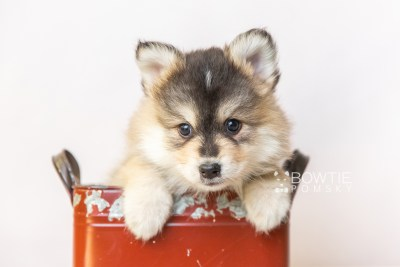 puppy119 week7 BowTiePomsky.com Bowtie Pomsky Puppy For Sale Husky Pomeranian Mini Dog Spokane WA Breeder Blue Eyes Pomskies Celebrity Puppy web2