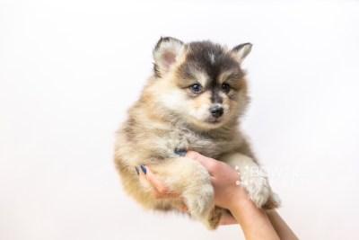 puppy119 week7 BowTiePomsky.com Bowtie Pomsky Puppy For Sale Husky Pomeranian Mini Dog Spokane WA Breeder Blue Eyes Pomskies Celebrity Puppy web6