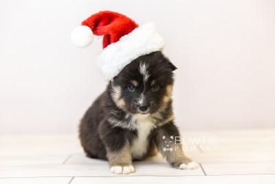 puppy120 week3 BowTiePomsky.com Bowtie Pomsky Puppy For Sale Husky Pomeranian Mini Dog Spokane WA Breeder Blue Eyes Pomskies Celebrity Puppy web-size web3