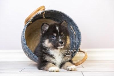 puppy120 week5 BowTiePomsky.com Bowtie Pomsky Puppy For Sale Husky Pomeranian Mini Dog Spokane WA Breeder Blue Eyes Pomskies Celebrity Puppy web2