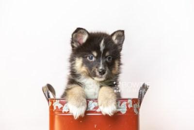 puppy120 week7 BowTiePomsky.com Bowtie Pomsky Puppy For Sale Husky Pomeranian Mini Dog Spokane WA Breeder Blue Eyes Pomskies Celebrity Puppy web3