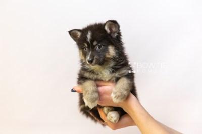 puppy120 week7 BowTiePomsky.com Bowtie Pomsky Puppy For Sale Husky Pomeranian Mini Dog Spokane WA Breeder Blue Eyes Pomskies Celebrity Puppy web6