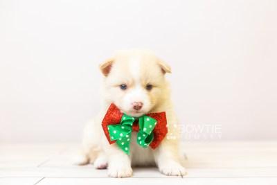 puppy121 week3 BowTiePomsky.com Bowtie Pomsky Puppy For Sale Husky Pomeranian Mini Dog Spokane WA Breeder Blue Eyes Pomskies Celebrity Puppy web-size web4