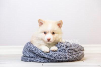 puppy121 week5 BowTiePomsky.com Bowtie Pomsky Puppy For Sale Husky Pomeranian Mini Dog Spokane WA Breeder Blue Eyes Pomskies Celebrity Puppy web1