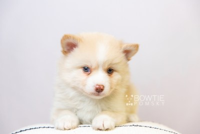 puppy121 week5 BowTiePomsky.com Bowtie Pomsky Puppy For Sale Husky Pomeranian Mini Dog Spokane WA Breeder Blue Eyes Pomskies Celebrity Puppy web5