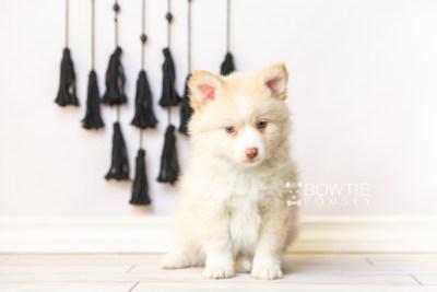 puppy121 week7 BowTiePomsky.com Bowtie Pomsky Puppy For Sale Husky Pomeranian Mini Dog Spokane WA Breeder Blue Eyes Pomskies Celebrity Puppy web4