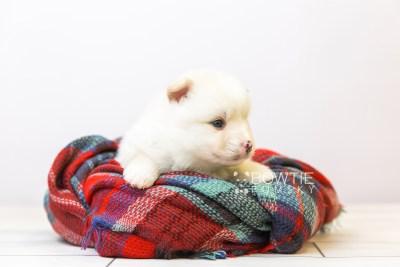 puppy122 week3 BowTiePomsky.com Bowtie Pomsky Puppy For Sale Husky Pomeranian Mini Dog Spokane WA Breeder Blue Eyes Pomskies Celebrity Puppy web-size web2