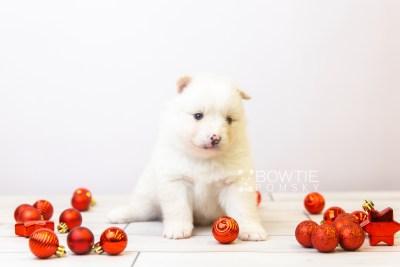 puppy122 week3 BowTiePomsky.com Bowtie Pomsky Puppy For Sale Husky Pomeranian Mini Dog Spokane WA Breeder Blue Eyes Pomskies Celebrity Puppy web-size web3