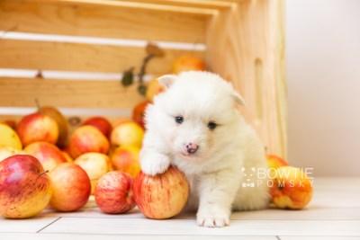 puppy122 week3 BowTiePomsky.com Bowtie Pomsky Puppy For Sale Husky Pomeranian Mini Dog Spokane WA Breeder Blue Eyes Pomskies Celebrity Puppy web-size web4