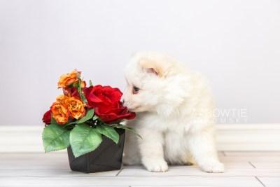 puppy122 week5 BowTiePomsky.com Bowtie Pomsky Puppy For Sale Husky Pomeranian Mini Dog Spokane WA Breeder Blue Eyes Pomskies Celebrity Puppy web4