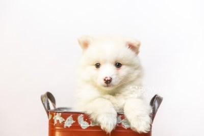 puppy122 week7 BowTiePomsky.com Bowtie Pomsky Puppy For Sale Husky Pomeranian Mini Dog Spokane WA Breeder Blue Eyes Pomskies Celebrity Puppy web1