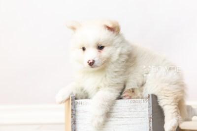 puppy122 week7 BowTiePomsky.com Bowtie Pomsky Puppy For Sale Husky Pomeranian Mini Dog Spokane WA Breeder Blue Eyes Pomskies Celebrity Puppy web5