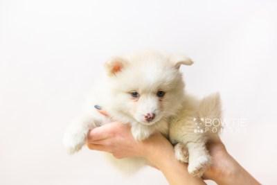 puppy122 week7 BowTiePomsky.com Bowtie Pomsky Puppy For Sale Husky Pomeranian Mini Dog Spokane WA Breeder Blue Eyes Pomskies Celebrity Puppy web6