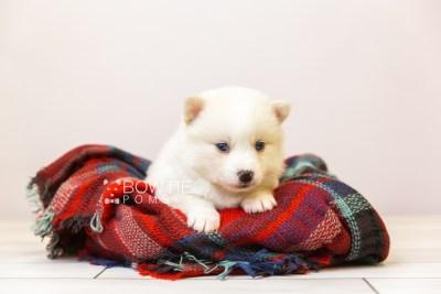 puppy123 week3 BowTiePomsky.com Bowtie Pomsky Puppy For Sale Husky Pomeranian Mini Dog Spokane WA Breeder Blue Eyes Pomskies Celebrity Puppy web-size web1