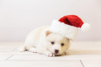 puppy123 week3 BowTiePomsky.com Bowtie Pomsky Puppy For Sale Husky Pomeranian Mini Dog Spokane WA Breeder Blue Eyes Pomskies Celebrity Puppy web-size web3