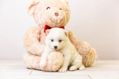 puppy123 week3 BowTiePomsky.com Bowtie Pomsky Puppy For Sale Husky Pomeranian Mini Dog Spokane WA Breeder Blue Eyes Pomskies Celebrity Puppy web-size web5