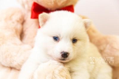 puppy123 week3 BowTiePomsky.com Bowtie Pomsky Puppy For Sale Husky Pomeranian Mini Dog Spokane WA Breeder Blue Eyes Pomskies Celebrity Puppy web-size web6