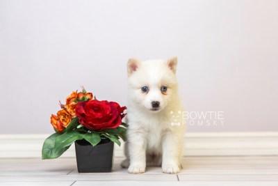 puppy123 week5 BowTiePomsky.com Bowtie Pomsky Puppy For Sale Husky Pomeranian Mini Dog Spokane WA Breeder Blue Eyes Pomskies Celebrity Puppy web4