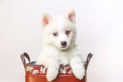 puppy123 week7 BowTiePomsky.com Bowtie Pomsky Puppy For Sale Husky Pomeranian Mini Dog Spokane WA Breeder Blue Eyes Pomskies Celebrity Puppy web2