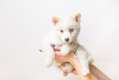 puppy123 week7 BowTiePomsky.com Bowtie Pomsky Puppy For Sale Husky Pomeranian Mini Dog Spokane WA Breeder Blue Eyes Pomskies Celebrity Puppy web6