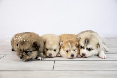 puppy124-127 week3 BowTiePomsky.com Bowtie Pomsky Puppy For Sale Husky Pomeranian Mini Dog Spokane WA Breeder Blue Eyes Pomskies Celebrity Puppy web-logo
