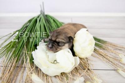 puppy124 week1 BowTiePomsky.com Bowtie Pomsky Puppy For Sale Husky Pomeranian Mini Dog Spokane WA Breeder Blue Eyes Pomskies Celebrity Puppy web-logo5