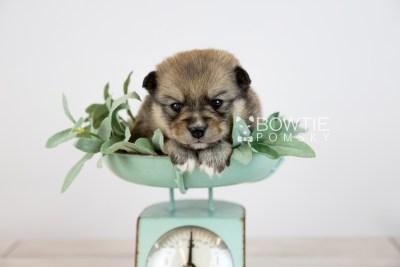 puppy124 week3 BowTiePomsky.com Bowtie Pomsky Puppy For Sale Husky Pomeranian Mini Dog Spokane WA Breeder Blue Eyes Pomskies Celebrity Puppy web-logo3