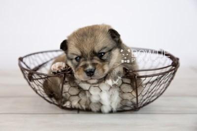 puppy124 week3 BowTiePomsky.com Bowtie Pomsky Puppy For Sale Husky Pomeranian Mini Dog Spokane WA Breeder Blue Eyes Pomskies Celebrity Puppy web-logo4