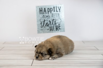 puppy124 week3 BowTiePomsky.com Bowtie Pomsky Puppy For Sale Husky Pomeranian Mini Dog Spokane WA Breeder Blue Eyes Pomskies Celebrity Puppy web-logo6