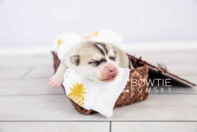 puppy125 week1 BowTiePomsky.com Bowtie Pomsky Puppy For Sale Husky Pomeranian Mini Dog Spokane WA Breeder Blue Eyes Pomskies Celebrity Puppy web-logo1