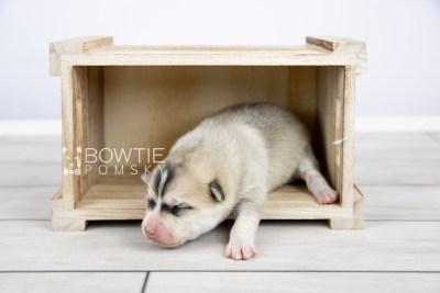 puppy125 week1 BowTiePomsky.com Bowtie Pomsky Puppy For Sale Husky Pomeranian Mini Dog Spokane WA Breeder Blue Eyes Pomskies Celebrity Puppy web-logo3
