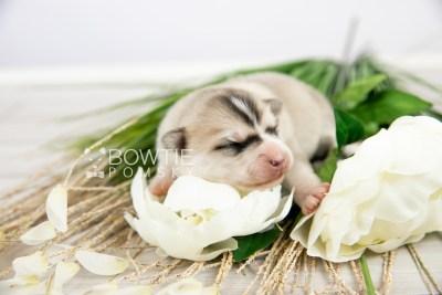 puppy125 week1 BowTiePomsky.com Bowtie Pomsky Puppy For Sale Husky Pomeranian Mini Dog Spokane WA Breeder Blue Eyes Pomskies Celebrity Puppy web-logo5