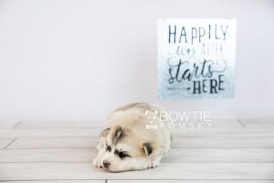 puppy125 week3 BowTiePomsky.com Bowtie Pomsky Puppy For Sale Husky Pomeranian Mini Dog Spokane WA Breeder Blue Eyes Pomskies Celebrity Puppy web-logo6