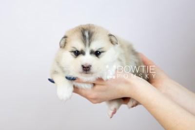 puppy125 week3 BowTiePomsky.com Bowtie Pomsky Puppy For Sale Husky Pomeranian Mini Dog Spokane WA Breeder Blue Eyes Pomskies Celebrity Puppy web-logo7