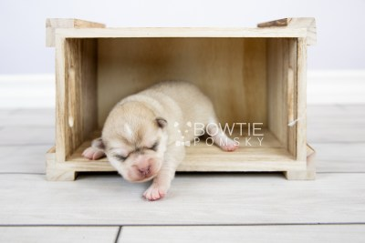 puppy126 week1 BowTiePomsky.com Bowtie Pomsky Puppy For Sale Husky Pomeranian Mini Dog Spokane WA Breeder Blue Eyes Pomskies Celebrity Puppy web-logo3