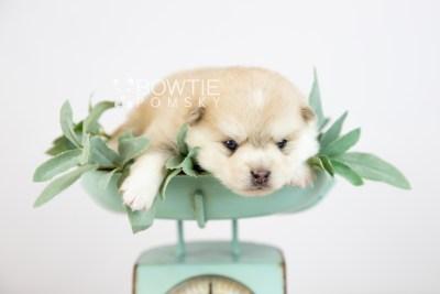 puppy126 week3 BowTiePomsky.com Bowtie Pomsky Puppy For Sale Husky Pomeranian Mini Dog Spokane WA Breeder Blue Eyes Pomskies Celebrity Puppy web-logo2