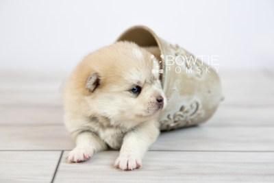 puppy126 week3 BowTiePomsky.com Bowtie Pomsky Puppy For Sale Husky Pomeranian Mini Dog Spokane WA Breeder Blue Eyes Pomskies Celebrity Puppy web-logo4