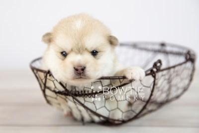 puppy126 week3 BowTiePomsky.com Bowtie Pomsky Puppy For Sale Husky Pomeranian Mini Dog Spokane WA Breeder Blue Eyes Pomskies Celebrity Puppy web-logo5