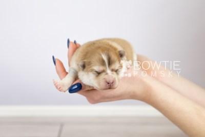 puppy127 week1 BowTiePomsky.com Bowtie Pomsky Puppy For Sale Husky Pomeranian Mini Dog Spokane WA Breeder Blue Eyes Pomskies Celebrity Puppy web-logo6