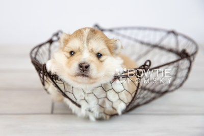 puppy127 week3 BowTiePomsky.com Bowtie Pomsky Puppy For Sale Husky Pomeranian Mini Dog Spokane WA Breeder Blue Eyes Pomskies Celebrity Puppy web-logo2