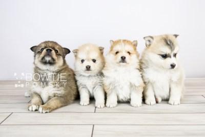 puppy124-127 week5 BowTiePomsky.com Bowtie Pomsky Puppy For Sale Husky Pomeranian Mini Dog Spokane WA Breeder Blue Eyes Pomskies Celebrity Puppy web with logo1