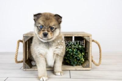 puppy124 week5 BowTiePomsky.com Bowtie Pomsky Puppy For Sale Husky Pomeranian Mini Dog Spokane WA Breeder Blue Eyes Pomskies Celebrity Puppy web with logo1