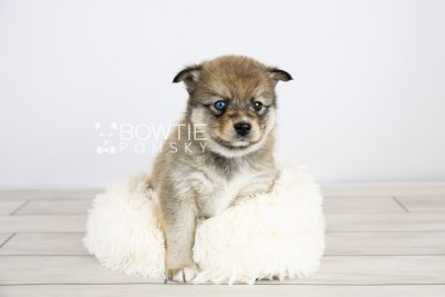 puppy124 week5 BowTiePomsky.com Bowtie Pomsky Puppy For Sale Husky Pomeranian Mini Dog Spokane WA Breeder Blue Eyes Pomskies Celebrity Puppy web with logo5