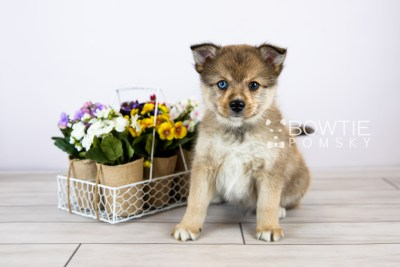 puppy124 week7 BowTiePomsky.com Bowtie Pomsky Puppy For Sale Husky Pomeranian Mini Dog Spokane WA Breeder Blue Eyes Pomskies Celebrity Puppy web with logo1