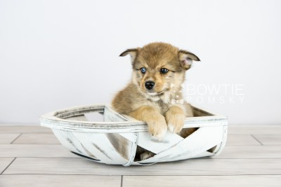 puppy124 week7 BowTiePomsky.com Bowtie Pomsky Puppy For Sale Husky Pomeranian Mini Dog Spokane WA Breeder Blue Eyes Pomskies Celebrity Puppy web with logo4